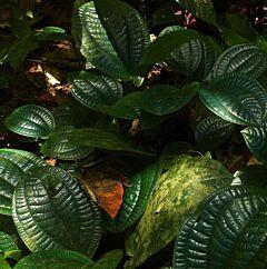 Tapak Sulaiman (Phyllagathis rotundifolia)