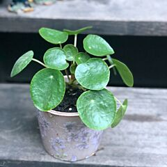Pilea peperomioides diels | House Plant