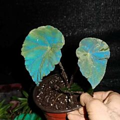 Blue Reflection Begonia (Begonia sp)