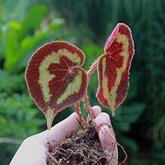 Begonia picturata
