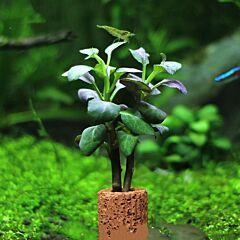 Lobelia cardinalis 'Small form'×3