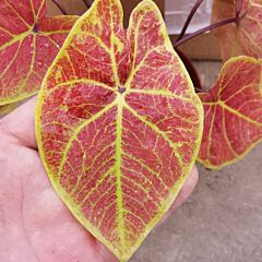 Caladium 'New Wave' (Caladium bicolor)