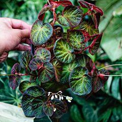 Begonia 'Bonita Shea'