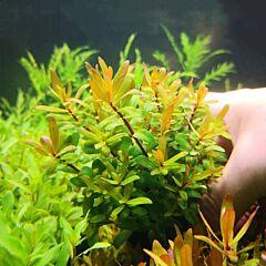 Golden Nesaea ( Nesaea pedicellata )