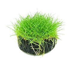 "Dwarf  Hairgrass  (Eleocharis ""parvula"" Sp. )"