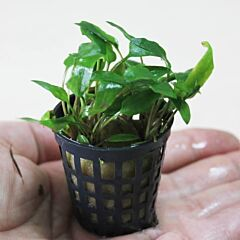 Water Trumpet (Cryptocoryne wendtii 'Green')