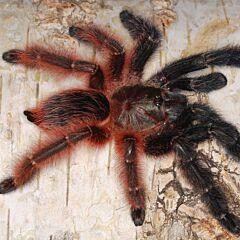 Darth Maul Tarantula (Psalmopoeus victori)