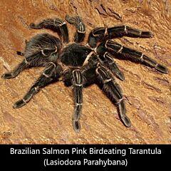 Brazilian Salmon Pink Birdeating Tarantula (Lasiodora parahybana)