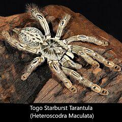 Togo Starburst Tarantula (Heteroscodra maculata)