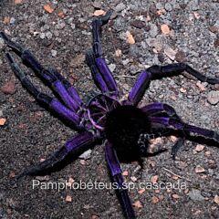 Cascada Birdeater Tarantula (Pamphobeteus sp cascada)