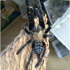 Cyriopagopus sp 'Sumatra Tiger' Tarantula