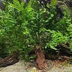 African water fern (Bolbitis heudelotii )