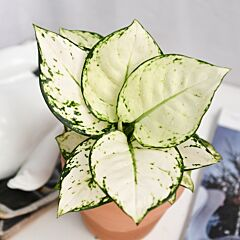 Aglaonema ' Anyamanee ' Super White