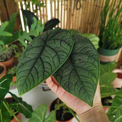 Alocasia Rugosa ( Alocasia melo ) | House Plant