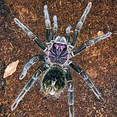 Amazon Blue Bloom Tarantula (Xenesthis intermedia)