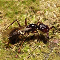 Ant colony odontomachus monticola
