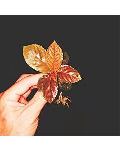Ardisia sp. (Brown)