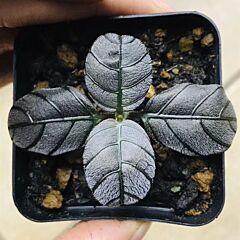 Argostemma sp. Black
