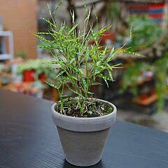 Tiger Stripe Bamboo  ( Bambusoideae sp )