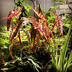 Pink Spotted Begonia (Begonia amphioxus)