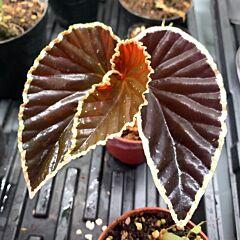 Darth Vader Begonia (Begonia darthvaderiana)
