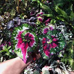 Begonia 'Dutch Splendor'
