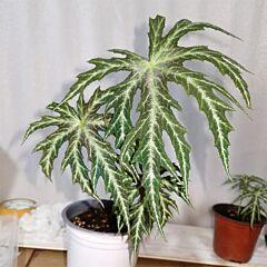 Begonia rubropunctata