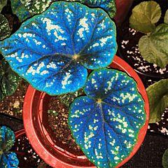 Begonia shiwanshanensis