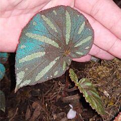 Begonia sp. Reflective blue