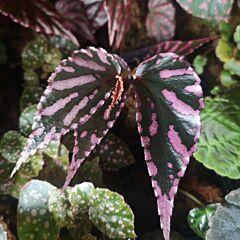 Begonia sp. julau