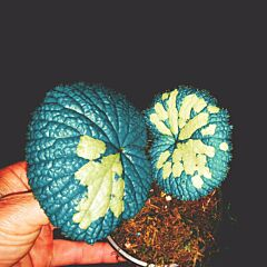 Begonia gulinqingensis
