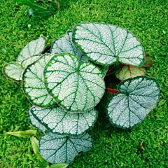Begonia sp (Red)