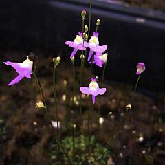 Bladderwort (Utricularia warburgii)