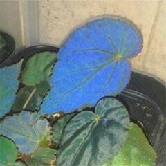 Blue Begonia (Begonia pavonina)