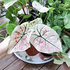 Caladium ' Strawberry Star ' ( Caladium bicolor )