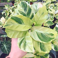 Calathea louisae 'Thai Beauty'