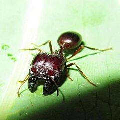 Ant colony East Indian harvesting ant (Pheidologeton Diversus-Carebara Diversa)