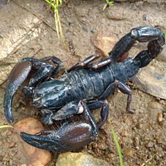 Cave Clawed Scorpion (Pandinus viatoris)