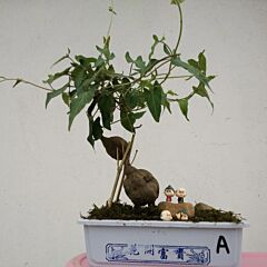 Chinese knotweed mini bonsai ( Fallopia multiflora )