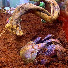 Coconut Robber Crab (Birgus latro)