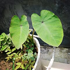 Colocasia antiquorum