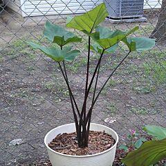 Colocasia ' Coffee Cups '