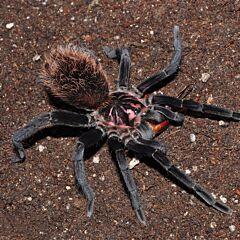 Colombian Lesserblack Tarantula (Xenesthis immanis)