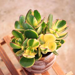 Crassula obliqua tricolor jade