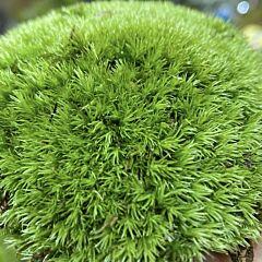Cushion Moss ( Leucobryum glaucum )