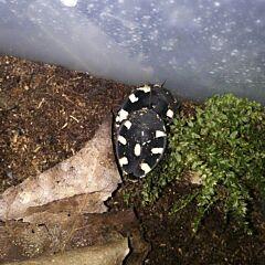 Domino Roaches Therea Petiveriana (5+1)