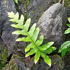 Drynaria roosii Nakaike(Drynaria roosii)
