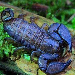 Dwarf Wood Scorpion (Liocheles australasiae)