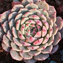 Echeveria ' Pinwheel '