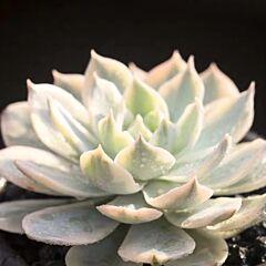 Echeveria subsessilis variegated
